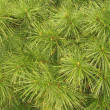Stock Photo: White Pine Needles #2