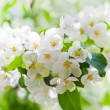 ������, ������: Apple blossoms in spring