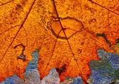 Texture of autumn maple leaf — Stock Photo