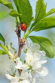 Apple blossoms ladybird — Stock Photo