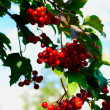 Stock Photo: Guelder-rose berries on bush