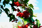 Guelder-rose berries on a bush — Stock Photo