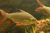 Small fishes in an aquarium — Stock Photo
