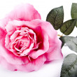 Rose Background — Foto de Stock