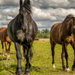 Royalty-Free Stock Photo: Horses walking