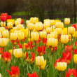 Field of tulps - Stock Photo