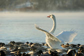 Trumpeter swan stretches its wings. — Stock Photo