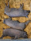 Three pigs Iberian — Stock Photo