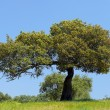 Holm oak tree — Stock Photo