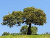 Holm oak tree — Stock Photo
