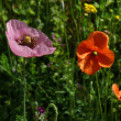 Royalty-Free Stock Photo: Red and pink poppies