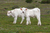 Charolais calves — Stock Photo