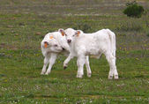 Two charolais calves — Stock Photo
