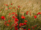 Poppies and ripe wheat — Stock Photo