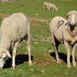 Merino sheep — Stock Photo #25663177