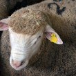 Sheep's head — Stock Photo #25663231