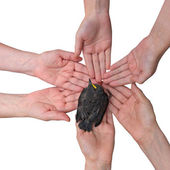 Blackbird on hands together — Stock Photo