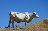 Dvě krávy — Stock fotografie