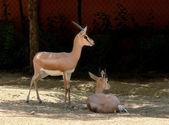 Gazelles — Stock Photo