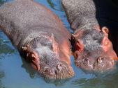 Two hippos — Stock Photo