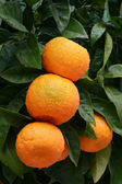 Orange tree with ripe oranges-vertical — Stock Photo