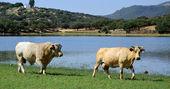 Krowy i byk - panoramiczny pejzaż — Zdjęcie stockowe
