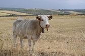 Krowa w dziedzinie — Zdjęcie stockowe