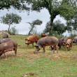 Herd of Iberipigs and oaks — Stock Photo #38350173