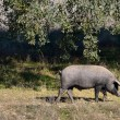 Two Iberipigs eating (panoramic view) — Stock Photo #38350569