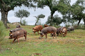 Herd of Iberian pigs and oaks — Stock Photo