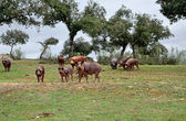 Herd of Iberian pigs eating acorns — Stock Photo