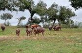 Herd of Iberian pigs eating acorns — Stock Photo