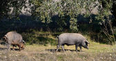 Two Iberian pigs eating (panoramic view) — Stock Photo