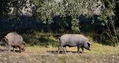 Two Iberian pigs eating (panoramic view) — Stock Photo