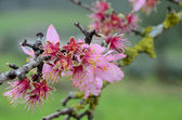 Withered  flowers of almond tree — Stock Photo
