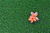 Frangipani on the green grass — Stock Photo