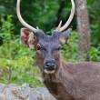 Portrait of Deer — Stock Photo #38547589
