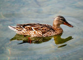 WOOD DUCK — Foto Stock