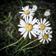 Dirty grunge daisy flower — Stock Photo