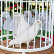 Pigeons in a cage — Stock Photo