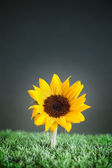 Yellow flower on grass — Stock Photo