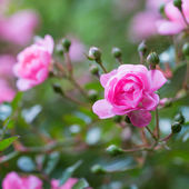 Pink flowers, floral background — Stock Photo