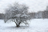 Lonely snow capped tree — Stock Photo