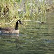 Stock Photo: Canadigoose paddling