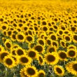 Sunflower field — Stock Photo #12599076