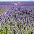 Lavender fields, Provence — Stock Photo