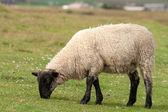 Scotland black sheep — Stok fotoğraf