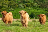 Scotland red angus cattle — Stock Photo