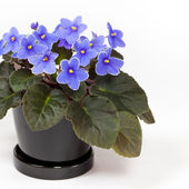 Purple African Violets on a white background. Selective focus. — Stock Photo