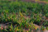 Wheat seedling — Stock Photo